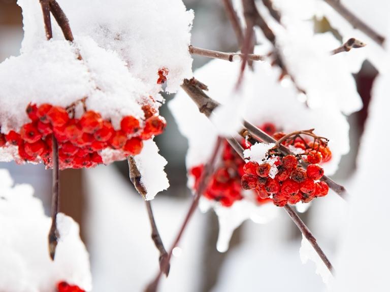 knallrote Beeren der Eberesche unter einem frischen Schneehäubchen, Eiszapfen, im Gegenlicht, Winter 2020